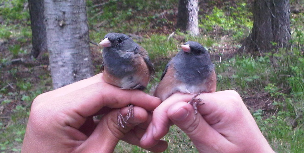 Photo of two pink-sided juncos